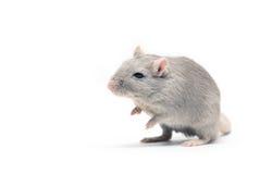 szara mysz Zdjęcie Stock