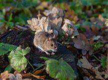 Szara mysz w lesie Obrazy Royalty Free