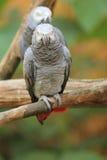 szara papuga Zdjęcie Royalty Free