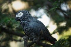 szara papuga afrykańskiego Fotografia Stock