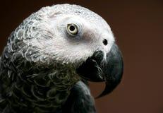 szara papuga afrykańskiego Obrazy Stock