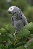 szara papuga afrykańskiego Zdjęcia Royalty Free