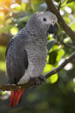 szara papuga afrykańskiego Obraz Stock