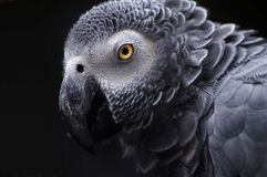 szara papuga afrykańskiego Obrazy Royalty Free