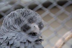 szara papuga afrykańskiego Zdjęcie Royalty Free