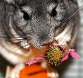 Szara puszysta szynszyla Ślepuszonka je kwiatu echinacea Obrazy Royalty Free