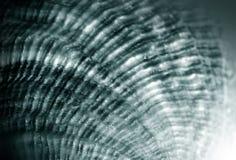 Szara seashell tekstura Obrazy Stock