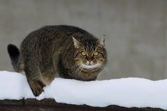 Szara tabby pozycja na ogrodzeniu w śniegu Fotografia Stock
