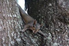 Szara wiewiórka Obrazy Stock