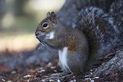 Szara wiewiórka Zdjęcia Stock