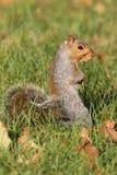 szara wiewiórka Zdjęcie Stock