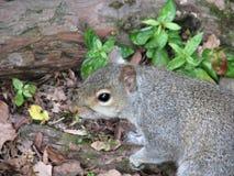szara wiewiórka zdjęcia royalty free