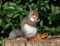 szara wiewiórka Zdjęcie Royalty Free