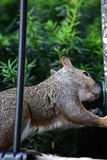 szara wiewiórka Obraz Royalty Free