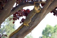 Szara wiewiórka jest na gałąź Obrazy Royalty Free