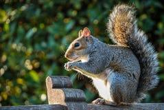 Szara wiewiórka na ławce Obrazy Royalty Free