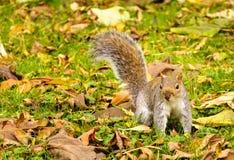Szara wiewiórka na dywanie liście w jesieni, spadku/ Zdjęcia Royalty Free
