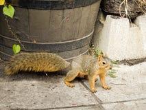 Szara wiewiórka na strażniku Obrazy Stock