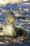 Szara wiewiórka trzyma acorn Obrazy Royalty Free