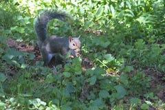 Szara wiewiórka w światła słonecznego świetle reflektorów Obrazy Royalty Free