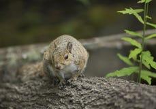 Szara wiewiórka w Floryda Fotografia Royalty Free
