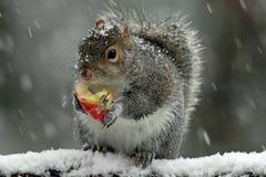 Szara wiewiórka w zimie Obrazy Royalty Free