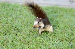 szara wiewiórka Obraz Stock