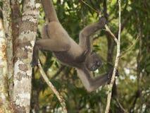 Szara zwełniona małpa (Lagothrix cana) Zdjęcia Stock