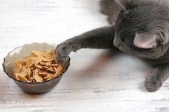 Szarego gnuśnego śmiesznego kota ciągnięcia łgarska łapa w pucharze z jedzeniem na białym tle obraz stock