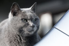 Szarego kota chłodno twarz Zdjęcia Royalty Free