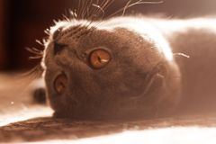 Szarego kota Szkocki fałd fotografia stock