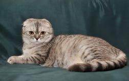 Szarego kota Szkocki fałd Zdjęcie Stock