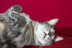 Szarego kota uśpiony kłamać na plecy Obraz Royalty Free