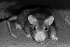 Szarego szczura spojrzenia pomysłowo inteligentny akcent na głowie z długimi wąsami i ciemniutkimi oczami w szarych brzmień sepio fotografia stock