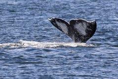 Szarego wieloryba fuks Obrazy Royalty Free
