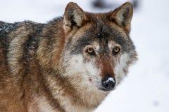 Szarego wilka portret podczas zimy zdjęcia stock
