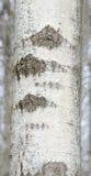 Szarej brzozy drzewo Zdjęcia Royalty Free