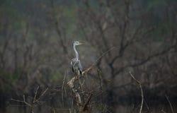 szarej heron połowów obraz royalty free