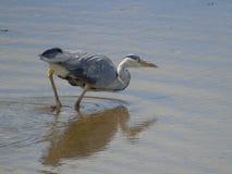 szarej heron połowów Zdjęcie Royalty Free