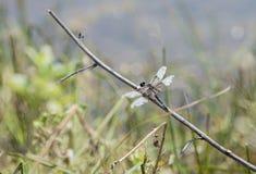 Szargający Oskrzydlony Wdowi Cedzakowy Dragonfly Libellula luctuosa Umieszczał zdjęcia royalty free