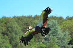 Szarość koronowany żuraw zdjęcie stock