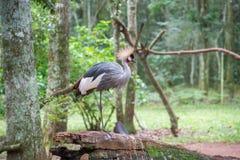 Szarość Koronowany Dźwigowy egzotyczny ptak w Brazylia obraz royalty free