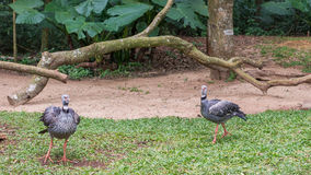 Szarość Koronowany Dźwigowy egzotyczny ptak w Brazylia zdjęcie royalty free