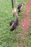 Szarość Koronowany Dźwigowy egzotyczny ptak w Brazylia fotografia stock