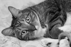 Szarość paskował domowego kota kłamstwa na łóżku Obrazy Stock