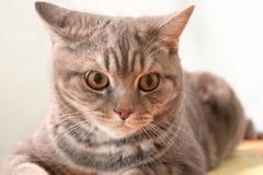 Szarość paskowali domowego kota lying on the beach w pokoju Zdjęcia Stock
