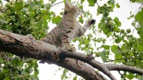 Szarość paskowali figlarki bawić się w drzewie Klamerka w 4K zdjęcie wideo