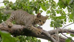 Szarość paskowali figlarki bawić się w drzewie Klamerka w 4K zbiory