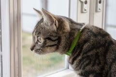 Szarość paskowali kota obsiadanie i patrzeć z okno fotografia royalty free