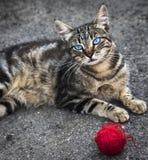 Szarość paskowali ulicznego kota z niebieskich oczu kłamstwami na asfalcie zdjęcie stock